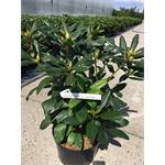Rhododendron Mix 5 l *