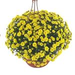 4850 Chrysanthemum multiflora Skyfall Yellow