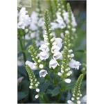 U1090 Physostegia virginiana Crystal Peak White