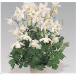 B3800 Aquilegia hybrida Spring Magic® White