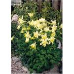 B3760 Aquilegia hybrida Spring Magic® Yellow