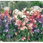 B3820 Aquilegia hybrida Spring Magic® Mix