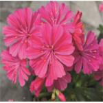 R0350T Lewisia cotyledon Elise Ruby Red ApeX