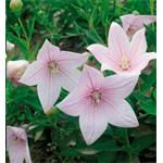 47505 Platycodon Astra Pink (288)