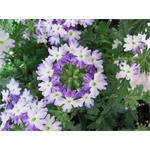 82581 Verbena Hurricane Blue*