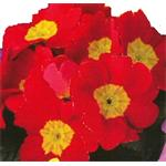 48544 Primula Charlie Red (288)