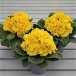 48544 Primula Charlie Red (384)