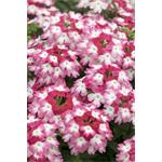 82584 Verbena Hurricane Red *