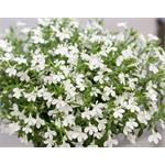 53873 Lobelia Hot Snow White*