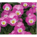 58244 Viola cor. ´ Butterfly Rose White Face ´ (384)