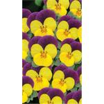 58227 Viola cor. ´ Butterfly Purple - Yellow´ (384)