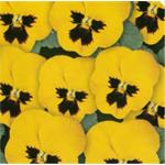 58238 Viola cor. ´ Butterfly Yellow w. Blotch ´ (288)