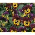 58227 Viola cor. ´ Butterfly Purple - Yellow´ (288)