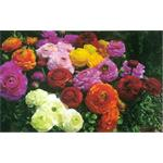 49320 Ranunculus ´ Magic Mix ´ (288)