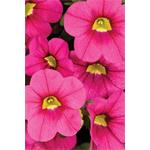 27596 Calibrachoa Calitastic Fancy Fuchsia*