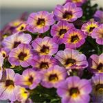 27335 Calibrachoa Chameleon Blueberry Scone*
