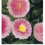 16763 Bellis perennis ´Bellisima Rose´ (384)