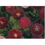 16762 Bellis perennis ´Bellisima Red´ (384)