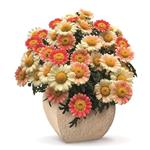 21527 Argyranthemum Day Zee Cream Pink *
