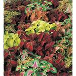 21705 Coleus Wizard Select Mix (288)
