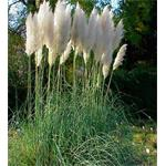 22202 Cortaderia White Feather (128)