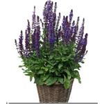 51390 Salvia nemorosa New Dimension Blue 128)
