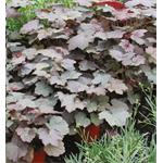 31801 Heuchera Palace Purple (128)