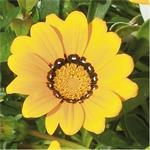 73228 Gazania Jupiter Yellow *
