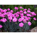 30539 Dianthus Perfume Pinks Tickled Pink*