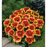 29101 Gaillardia Arizona Sun (128)