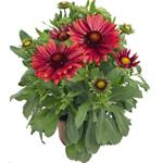 29102 Gaillardia Arizona Red Shades (128)