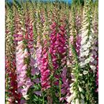 25103 Digitalis Foxy Mix (128)