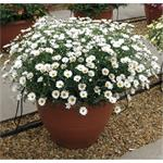 21525 Argyranthemum Day-Zee White *