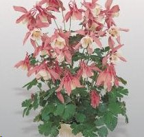B3780 Aquilegia hybrida Spring Magic® Rose & White