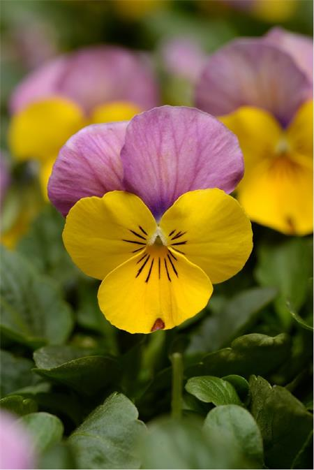 58253 Viola cor. ´ Butterfly Pink Yellow´ (384)