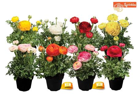 49367 Ranunculus ´ Sprinkles Mix ´ (288)