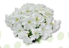 T1831P Petunia x hybrida grandiflora SUCCESS! HD White
