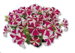T3027 Petunia x hybrida grandiflora SUCCESS! 360° Rose Star