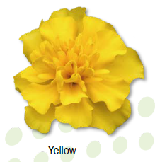 W2045D Tagetes patula Super Hero Yellow