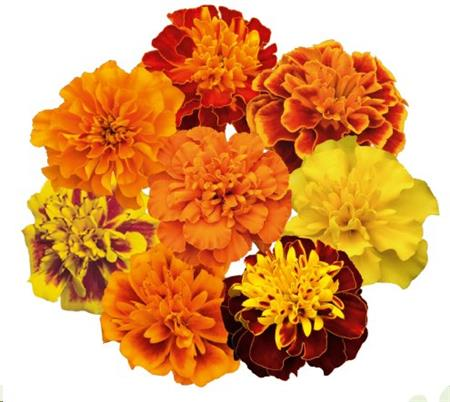 W2075D Tagetes patula Super Hero Mix
