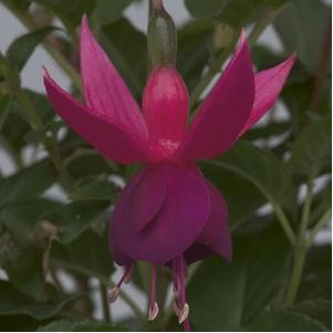 36143 Fuchsia George Bartlett*